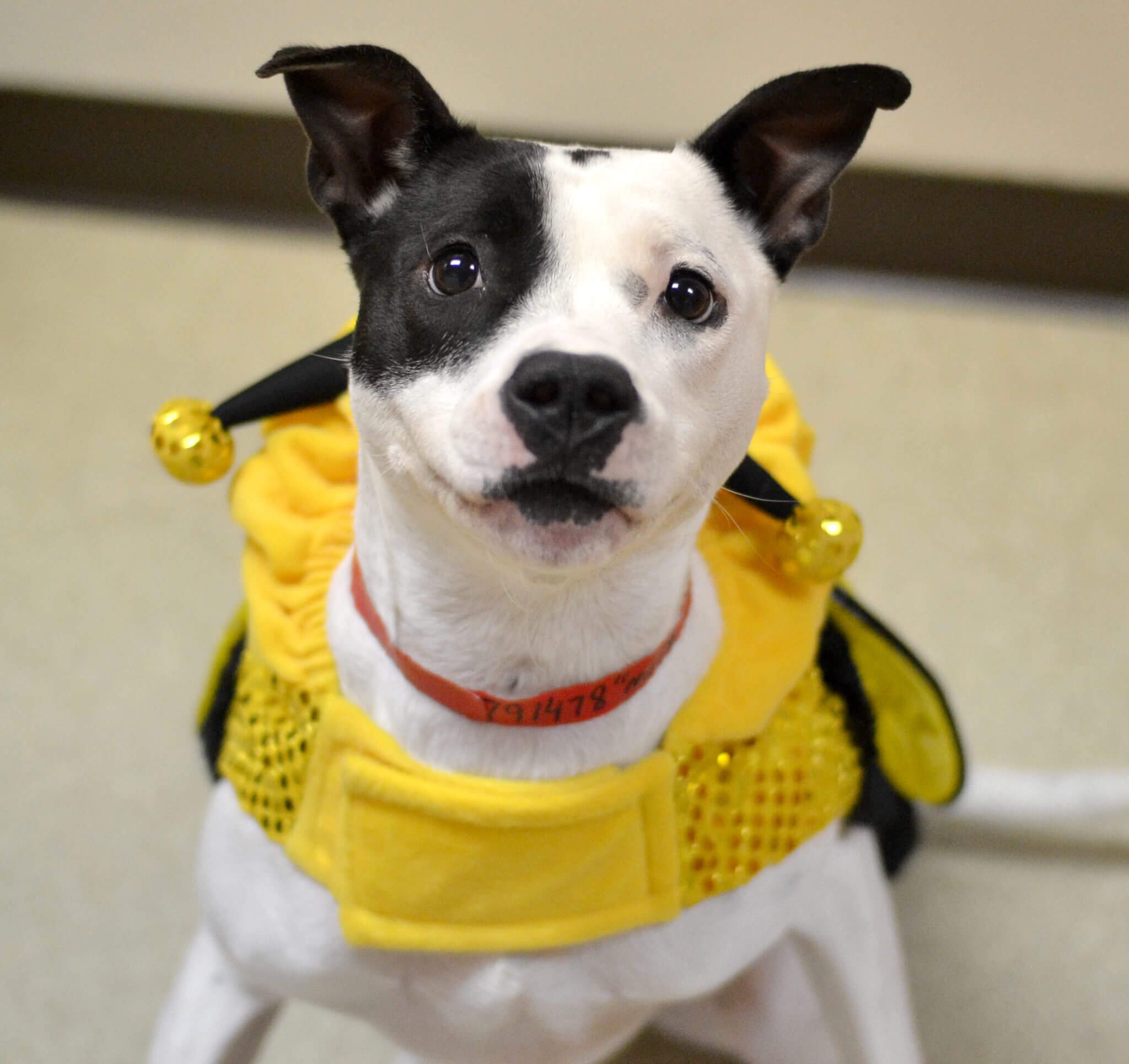 Molly is a happy and active young pit bull mix who was very excited about dressing up as a bee!