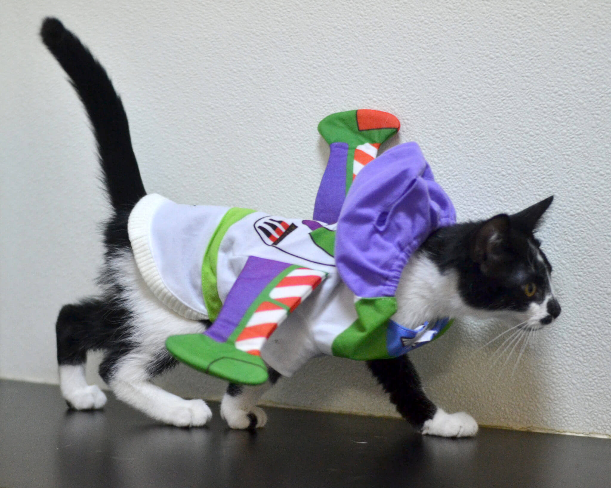Spirit, the kitten, is a very tolerant guy. He was purring the whole time that he was wearing his Buzz Lightyear costume!