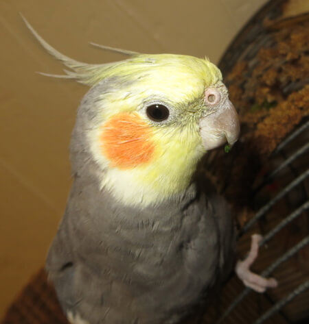 Polk is a cockateil who was adopted at six weeks old. He had to be hand fed formula until he was at least 12 weeks old every 4 hrs. Today he is  a very healthy bird. He loves to eat the middle out of cucumber slices.