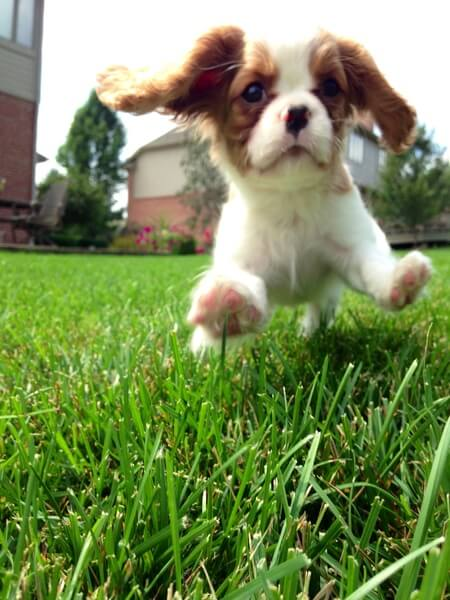 Brody is a Cavalier King Charles Spaniel. He loves to play ball and run in his backyard.
