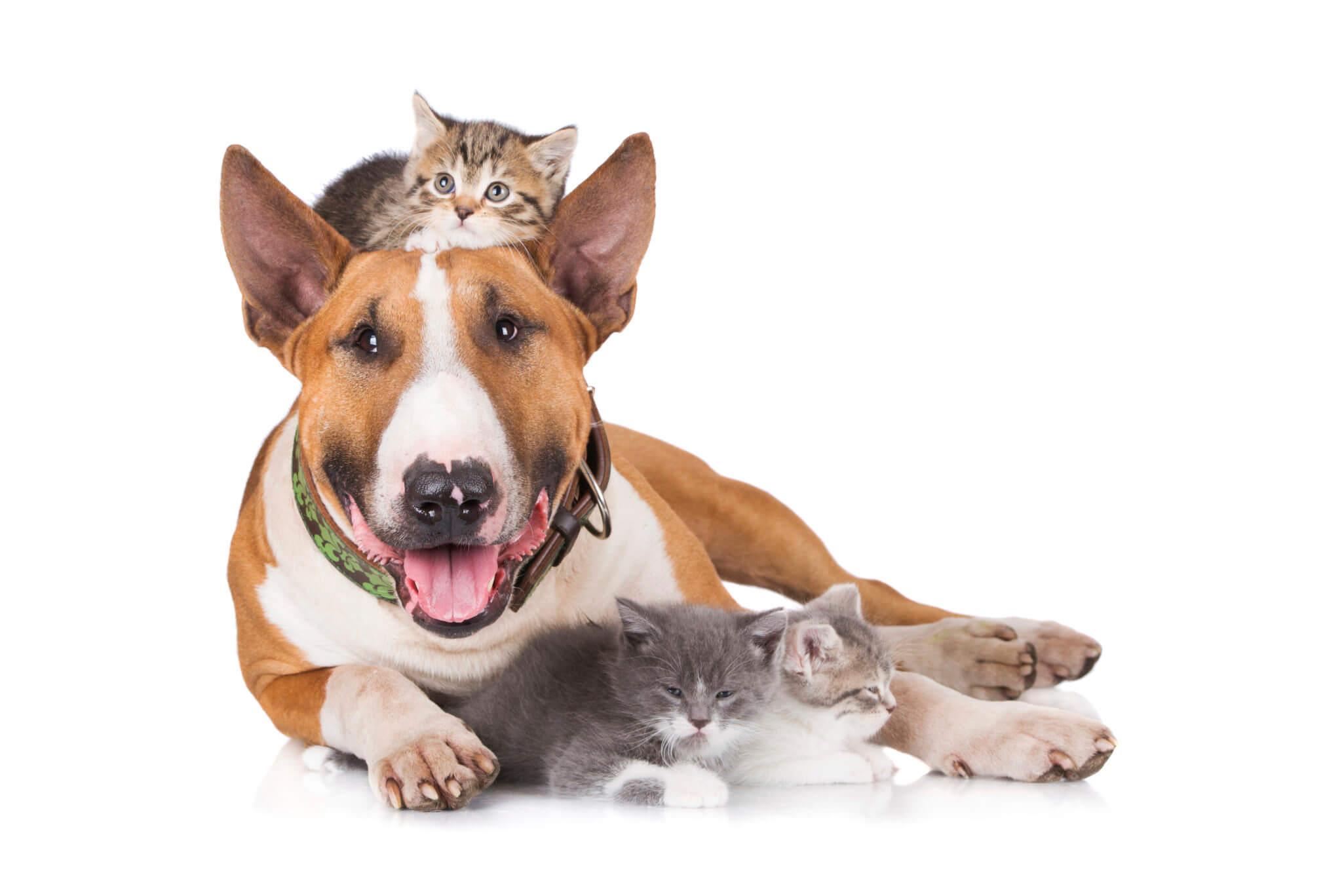 bull terrier with kittens