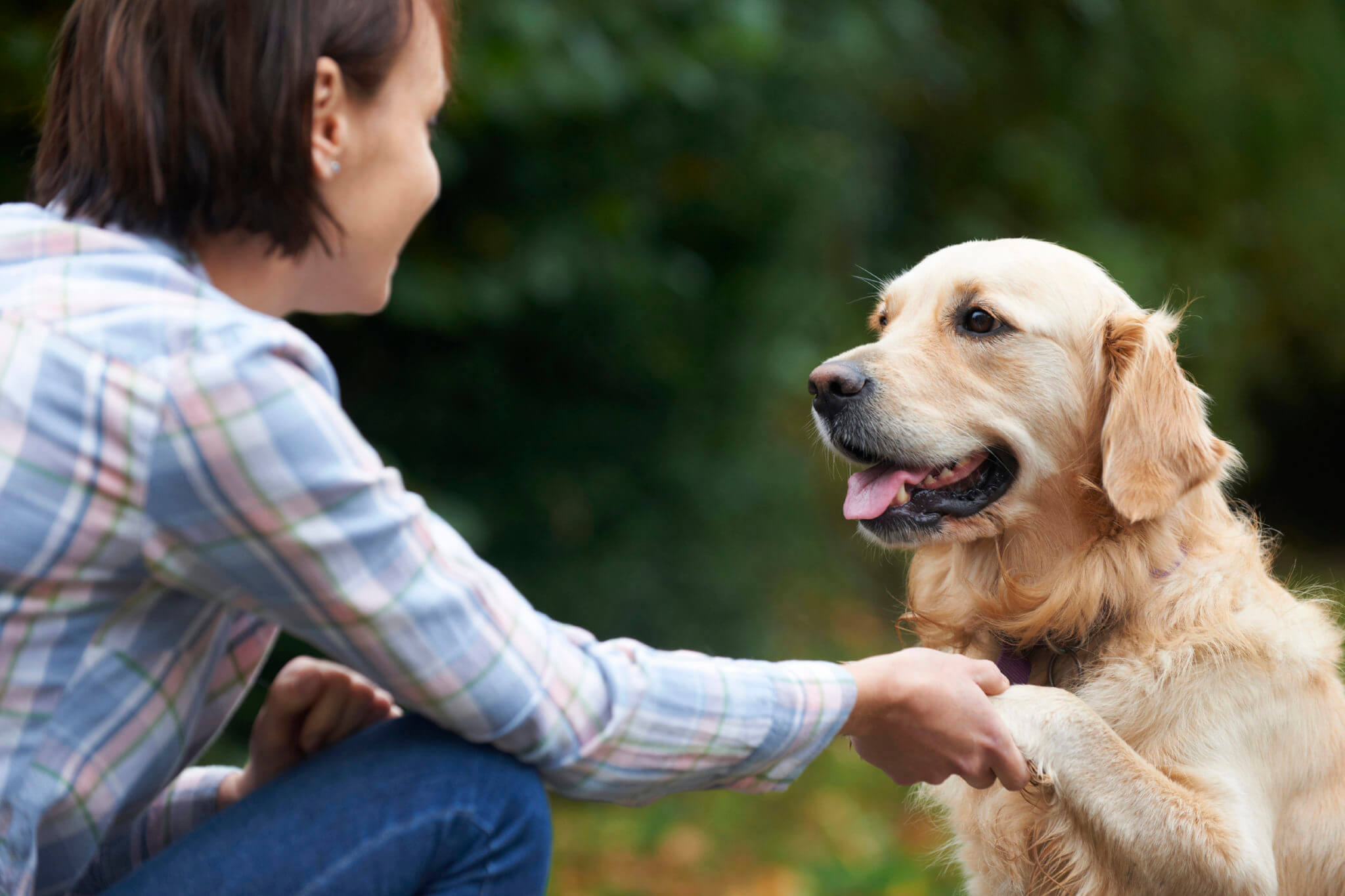 Pet Golden Retriever And Owner Playing Outside Together