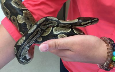 Python Found Outside Car Dealership in Ferndale