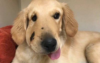 Dog Gets Face Bitten by Rattlesnake While Protecting Owner