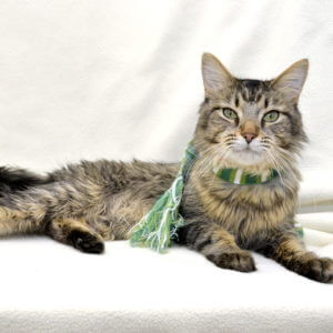Erised is a cat available for adoption at the Michigan Humane Society.