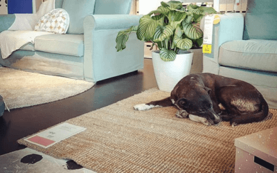 IKEA in Italy Lets Stray Dogs Stay in the Store