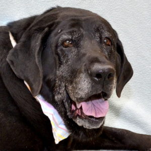 Montana is a senior pet available for adoption at the Michigan Humane Society.