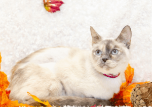 Snowfire is a cat up for adoption durin Adopt a Senior Pet Month.