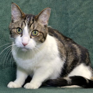Adopt Tommy during Adopt a Senior Pet Month at the Michigan Humane Society