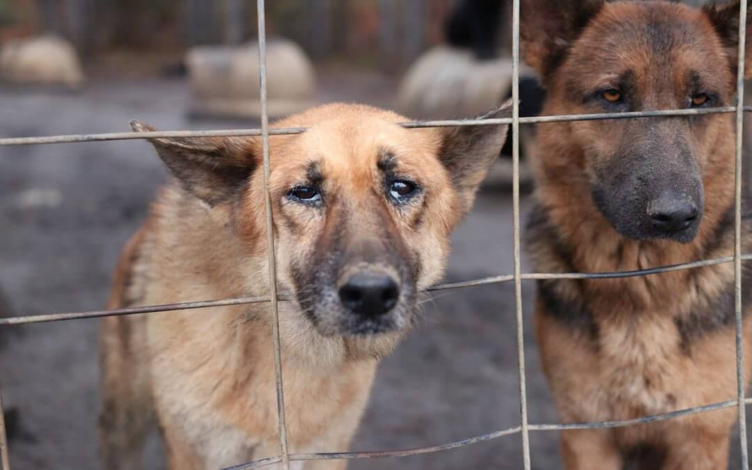 Over 165 Neglected German Shepherds Rescued From Georgia Property