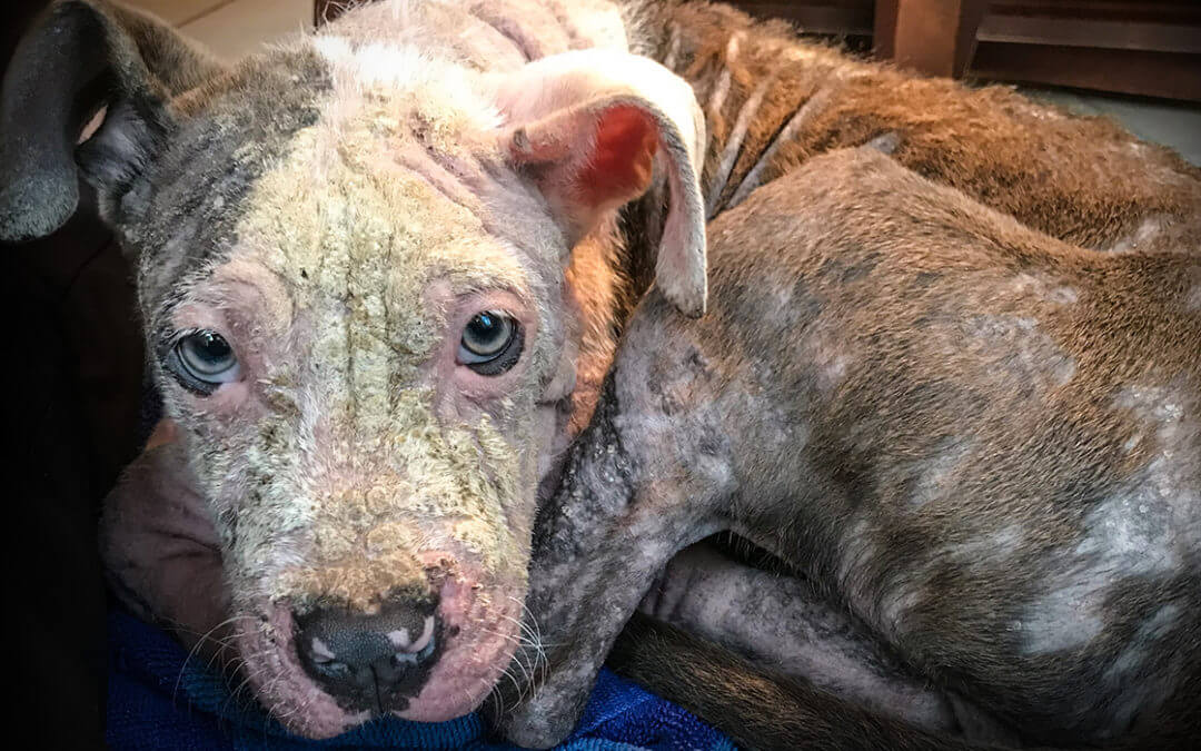 Neglected dog rescued by the Michigan Humane Society.