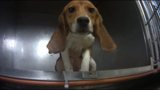 Michigan Lab to Stop Force-Feeding Pesticides to Beagles