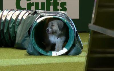 Dog Fails An Agility Course But He's Still a Very Good Boy