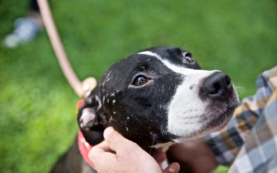Dog Fighting Survivors Find Second Chance
