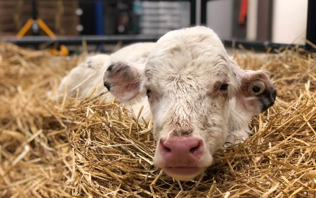 Michigan Humane Saves Baby Calves
