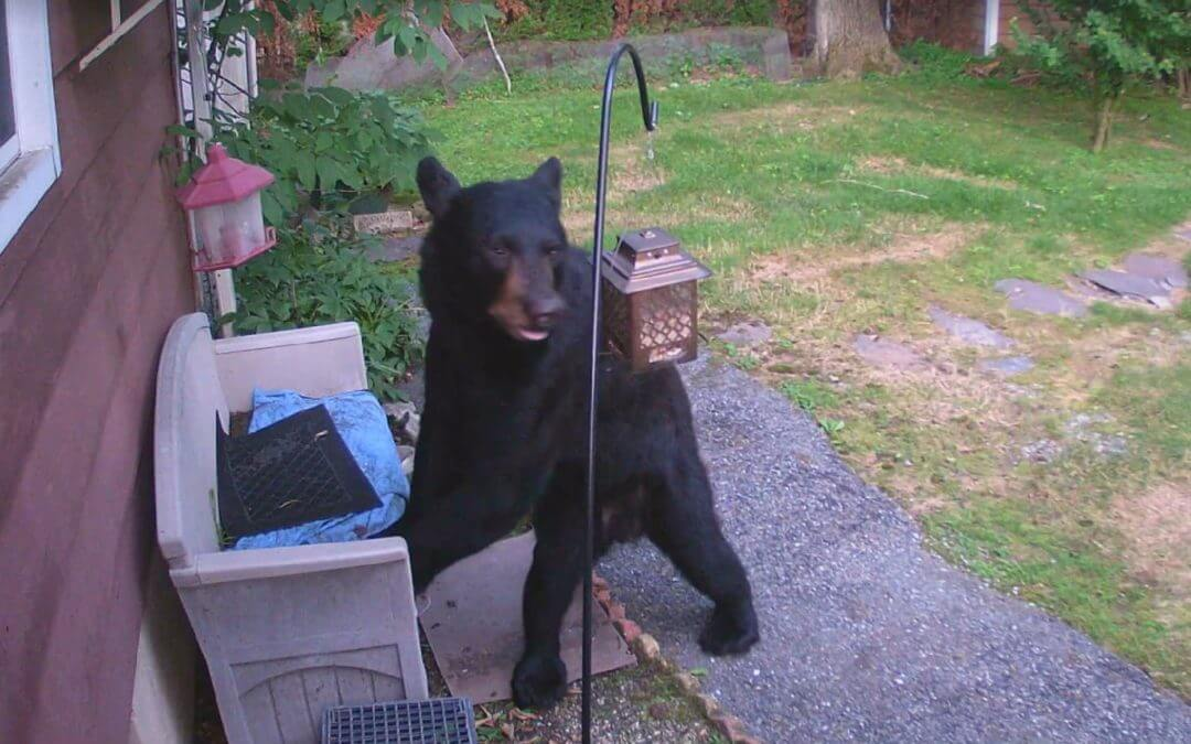 Watch a Dog Chase a Bear Out of a Backyard